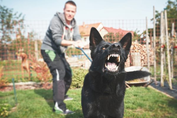 Barking black dog baring teeth while owner tries to hold it back.